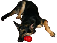 Picture: Hugh, my German Shepherd Seeing Eye dog is curled up with his brand new Kong by his nose.